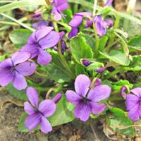 快乐赛车开奖紫花地丁种子   高4~14cm,果期高可达20余厘米