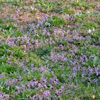 快乐赛车开奖紫花地丁种子   花果期4月中下旬至9月