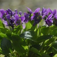 快乐赛车开奖紫花地丁种子  全草供药用,能清热解毒,凉血消肿。