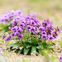 快乐赛车开奖紫花地丁种子  嫩叶可作野菜。可作早春观赏花卉