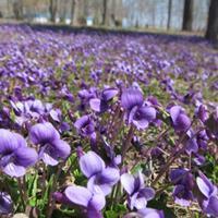 紫花地丁播种时间:春播3月上、中旬。秋播8月上旬