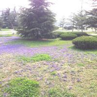 快乐赛车开奖紫花地丁种子   播种后一周左右出苗  出芽率高