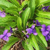 快乐赛车开奖紫花地丁种子   自播能力比较强  吹到哪  长到哪里