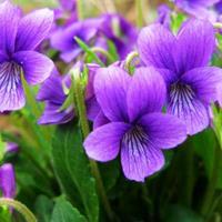 紫花地丁返青早、观赏性高、适应性强   快乐赛车开奖各种花卉种子