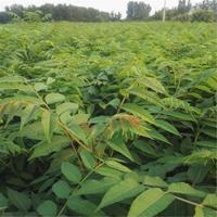 香椿苗、二年生香椿苗、3-5公分香椿苗批发市场