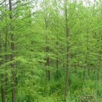 水杉价格480元_米径13公分_价格、山西水杉苗圃