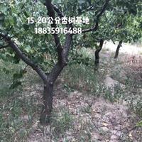 杏树地径10公分米径8公分杏树图片·10公分杏树多少钱