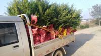 700棵南方红豆杉装车