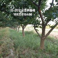 12公分杏树·快乐赛车开奖杏树产地12公分价格·12公分杏树图片