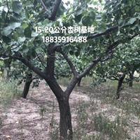 快乐赛车开奖地径15公分16公分17公分18公分20公分大规格杏树