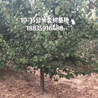 12公分杏树图片·12公分杏树详情·12公分杏树价格更新