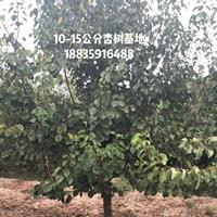 地径10-10公分杏树价格·11-11公分杏树快乐赛车开奖·10公分