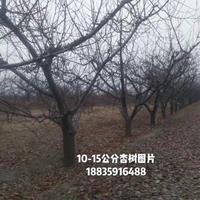 7-8-9公分杏树多少钱?8-9-10公分全冠杏树装车价格
