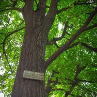 异形树、古树、皂荚树