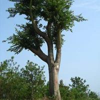 異形樹、古樹、樸樹