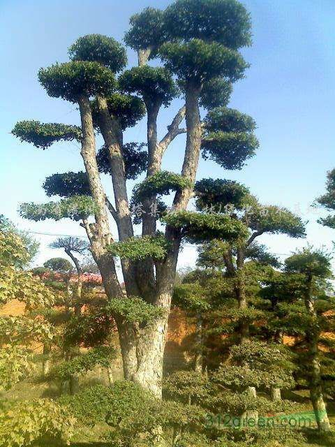 对节白腊-云盘树