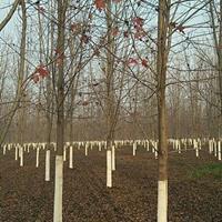 江苏大量美国红枫 有需要联系