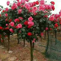 高杆月季价格 便宜的高干月季出售 今年高杆月季行情走势 江苏
