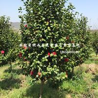 安徽茶花 红梅 红叶碧桃 木槿 紫薇 樱花优质供应商