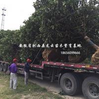 中華石楠 欏木石楠 紅葉石楠 桂花 無患子 重陽木