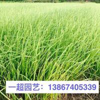 紫穗狼尾草