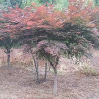紅楓 紅楓基地圖片/紅楓 紅楓基地報價