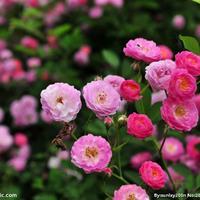 江苏供应红花蔷薇 藤本蔷薇 爬墙梅规格齐全
