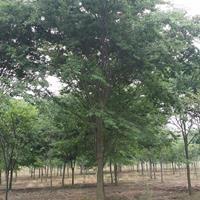 江苏榉树 榉树基地 榉树农户自产自销批发/快乐赛车开奖