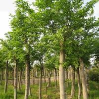 朴树/安徽朴树行情报价/朴树图片展示/朴树价格