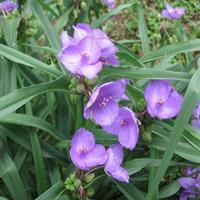 大小规格紫露草基地