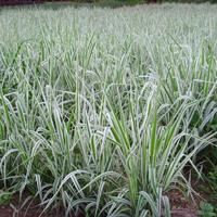 江蘇低價玉帶草/全國水生植物玉帶草哪里好/玉帶草哪家便宜