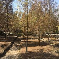 苏州金叶水杉/水杉价格/5—25公分水杉大量出售