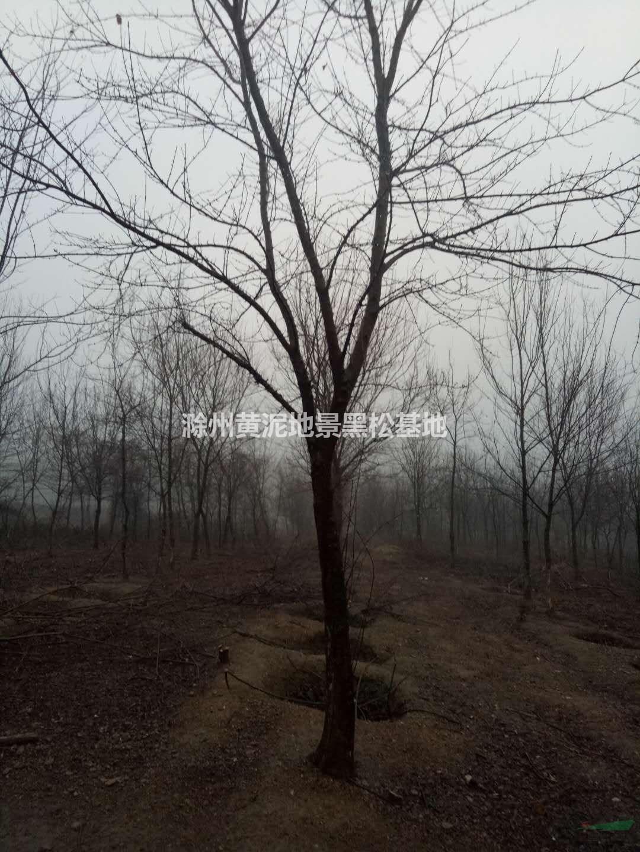滁州黄泥地景黑松苗木基地