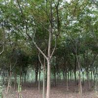 大量供應各種規格樸樹需要隨時聯系