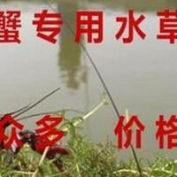 池塘養蝦蟹魚水草種子水花生水葫蘆輪葉黑藻伊樂藻苦草菹水草種子