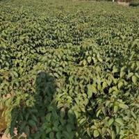 江西九江大量供應一年重陽木小苗