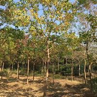 乌桕树 1-15公分乌桕价格1-800元 落叶乔木优质观赏树