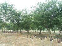 出售1一50公分朴树、丛生朴树20一150公分