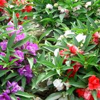 四季種易活易種植物鳳仙花種子指甲花 草花指甲草子花卉種籽