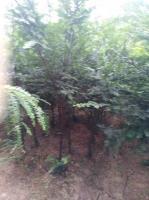 優質南方紅豆杉