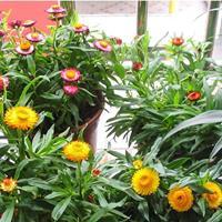 麦秆菊种子蜡菊观花庭院绿化草花种子四季播易种观赏盆栽花卉