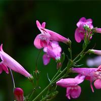 钓钟柳种子 吊钟柳花卉种子阳台草花种子景观花海花种子花籽