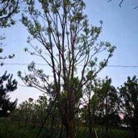精品香樟樹/廣西香樟袋苗