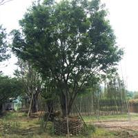 漳州精品朴树树苗米径10公分朴树批发朴树新价格