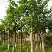福建朴树地苗米径12公分出售朴树批发朴树树苗价格基地直销