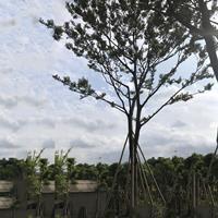 米径15公分朴树树苗批发价格 基地直供 朴树培育基地自产自销