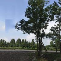 园林绿化木朴树规格齐全 苗木基地大量供应朴树现货朴树树苗批发