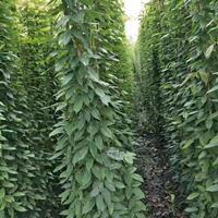 西南专业油麻藤种植基地  常春油麻藤  3-6米长油麻藤出售