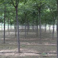 凯创园林2019秋季销售树种—榉树