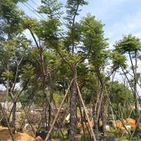 苗圃批发精品台湾栾树米径8公分移栽台湾栾树袋苗